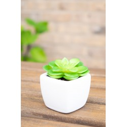 green succulent mini rosette